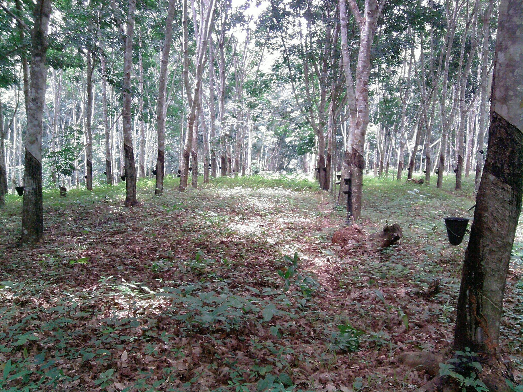 une plantation d'hévéa